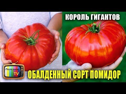 КОРОЛЬ ГИГАНТОВ ОБАЛДЕННЫЙ ВЫСОКОУРОЖАЙНЫЙ СОРТ ПОМИДОР | урожайный | урожайные | помидоры | полезное | томатов | томаты | огород | лучшие | сорта | самые