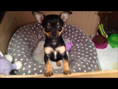 cute-black-and-tan-chihuahua-puppy-7-weeks