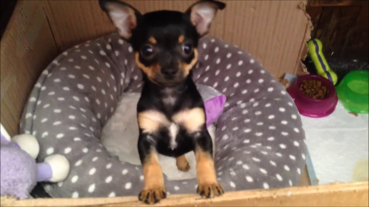 Cute Black And Tan Chihuahua Puppy 7 Weeks Youtube