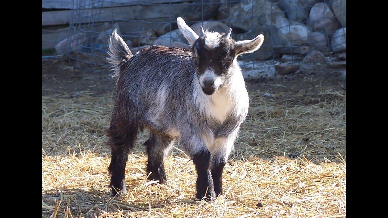 R Goats nigerian dwarf goats, ...