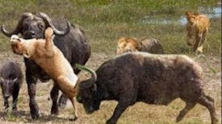 The Lion Realize That Two Buffalos Are very strong - lion fail hunting