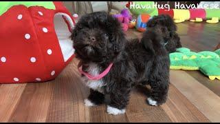 Happy HavaHug Havanese Puppies!