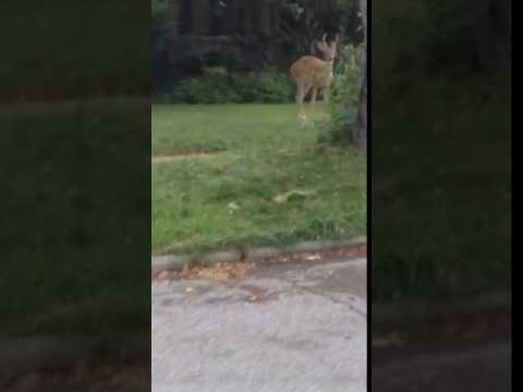 Deer in Ann Arbor Michigan