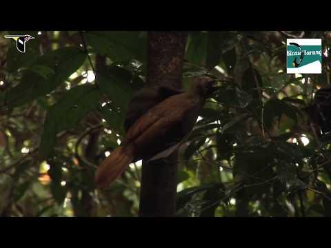 Suara Ngotot dari Burung Cendrawasih Paruh Bengkok, Cocok untuk Terikan Murai !!!