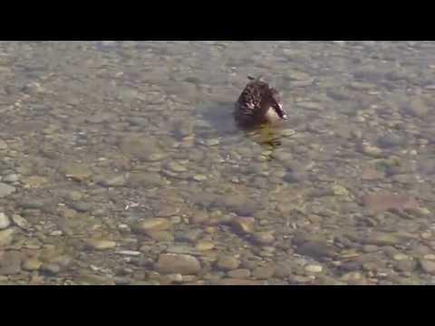 Munchen Isar (Flaucher) Die letzte überlebende Wildente