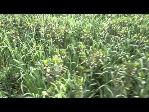 semis direct sous couvert de soja en haute provence semeato mai 2015