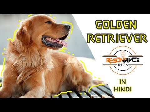 golden-retriever-facts-in-hindi.-know-all-about-golden-retriever.