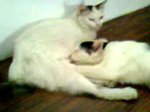 kucing dewasa hisap susu ibu