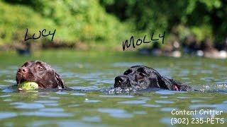 Labrador Retrievers Swimming And Fetching