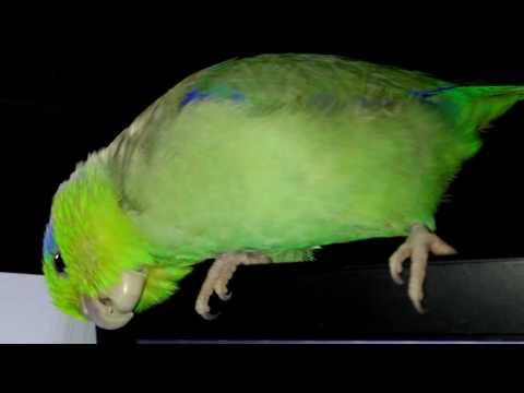 Kabosh, the Singing Parrotlet!