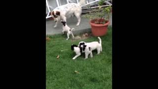 Dalmatian Mix Puppy For Adoption - 2 Months, Batman From G..