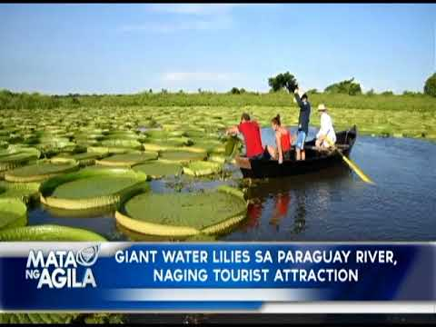 Giant water lilies sa Paraguay river, naging tourist attraction