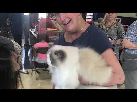 The 2017 Cat Fanciers' Association Cat Show KCMO Grandview Red Bridge Kansas City