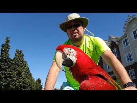 Petite balade à vélo avec Jackson, mon perroquet dans le vieux Terrebonne