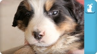 Cuddle With An Adorable Bernese Mountain Dog - Puppy Love