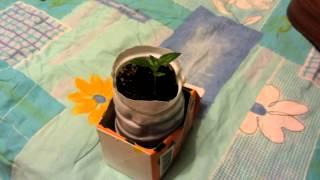 видео Мандарин из косточки в домашних условиях: выращивание и дальнейший уход