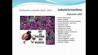 Tuto jardin :Lobularia maritima Alyssum attol: plante annuelle:  fiche technique plante annuelle