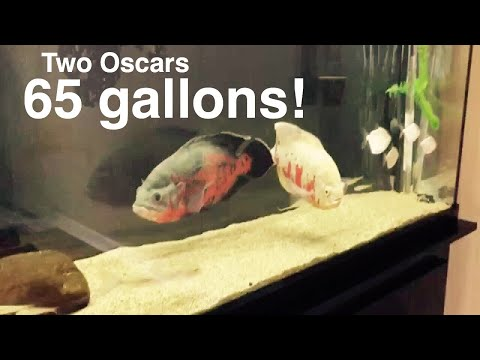Oscar Fish In A 65 Gal With Silver Dollars