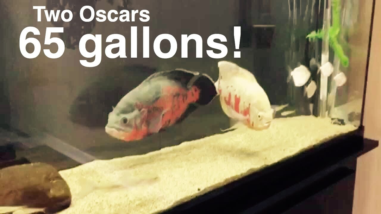 Rather adult oscar fish sorry, that