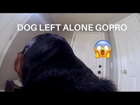 Rottweiler left Home alone with GoPro |11