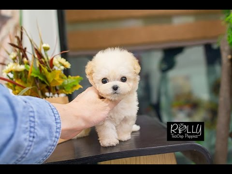 Adorable Cream Poodle +_+ Loving Personality~ Abigale - Rolly Teacup Puppies