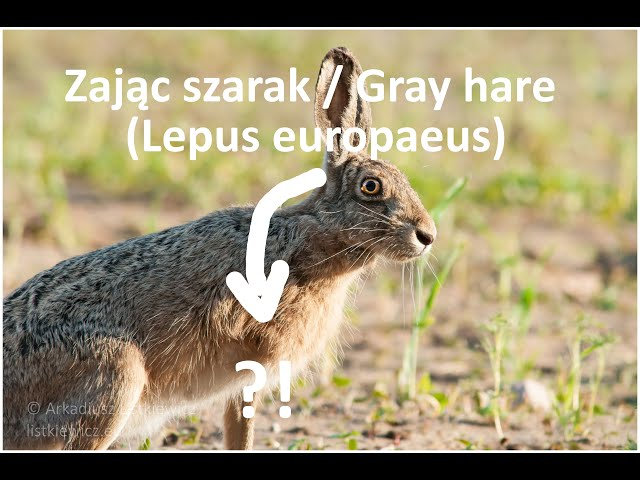 Zając szarak / Gray hare / Lepus europaeus | fotografuj #zemną