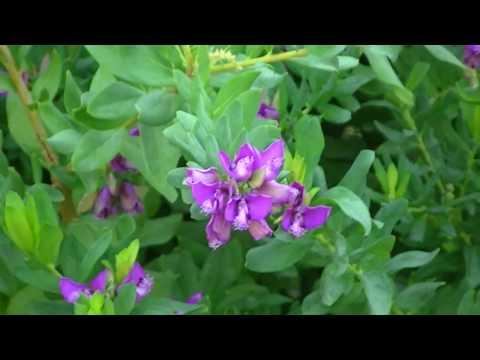 POLIGALA: Polygala myrtifolia (http://www.riomoros.com)