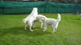 Maremma Sheepdogs At Balagan Kennels