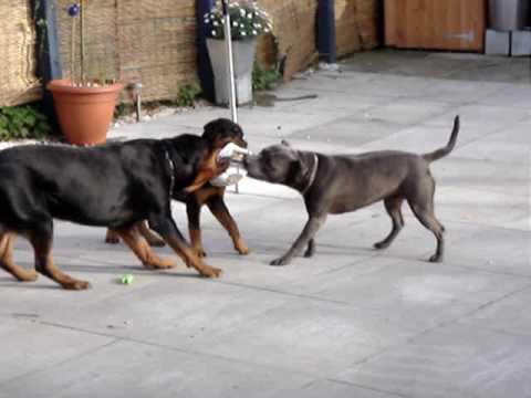 Rottweiler Vs Irishstaff Tug Of War Youtube