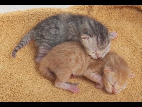 Newborn kittens, only one day old