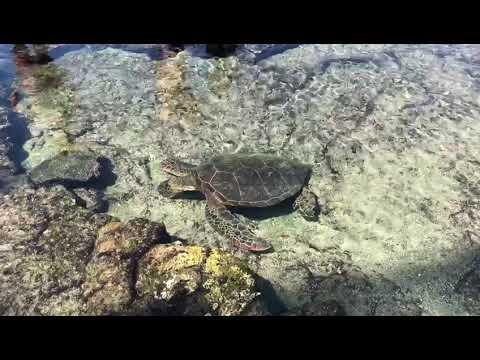 Tortuga marina honu (Hawaii)