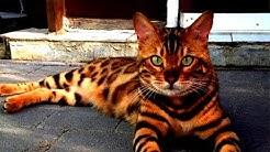 Diese Katze sieht aus wie ein bengalischer Tiger