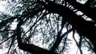 ヒマラヤ杉 あがたの森公園 (長野県松本市)