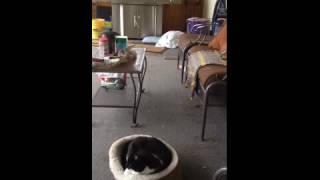 Beagle Scares Cat