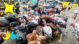 Cách phối trộn thức ăn cho mô hình nuôi gà thả vườn   khởi Nghiệp TV