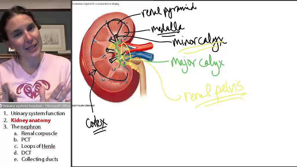 Kidney Anatomy Urinary System Human Anatomy Course Youtube