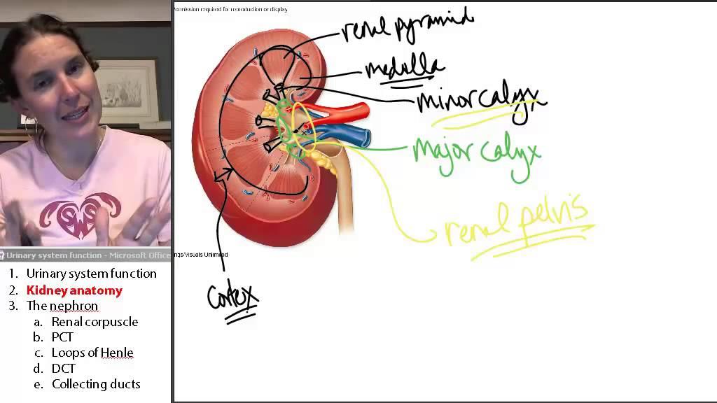Kidney Anatomy (Urinary System) ☆ Human Anatomy Course - YouTube