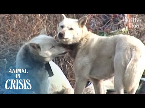 Stray Dog Wounded By A Tight Collar Worries She Might Lose Her Mom | Animal in Crisis EP113
