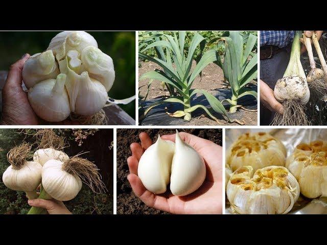 САМЫЙ загадочный овощ – РОКАМБОЛЬ