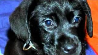 Labrador Retriever Welpen In Dresden