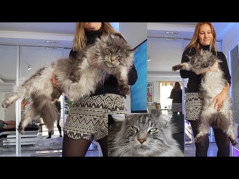BIG MAINE COON CAT Black Silver Little LION ....LIFE with Biggest Domestic Cat in the World