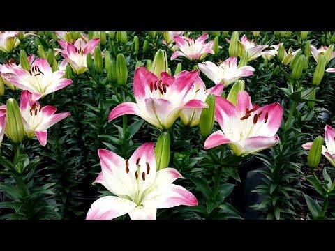 Best Garden Perennials, Lilium Lollypop (Asiatic Lily)