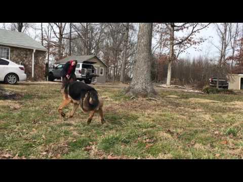 7-Month Old German Shepherd, Buddy!  Amazing Distractions   Off Leash K9 Training