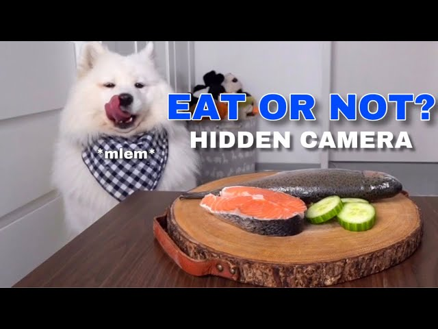SPY CAM: Will My Dog Steal Food? I Furbo Dog Camera