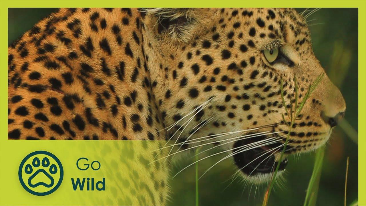 Download Leopard - Africa's Wild Wonders - The Secrets of Nature