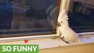 Cockatoo literally freaks out when owner comes home