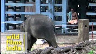 Cute baby elephant at Elephant Training Center in Kodanad, Kerala
