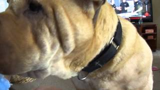 Shar-pei Sick?? Trembling