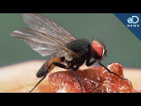 What Makes Flies The Greatest Flyers?