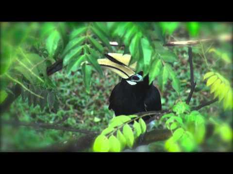 Oriental Pied Hornbill, Singapore